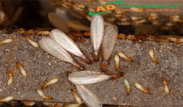 Đặc điểm sinh học loài mối gỗ ẩm